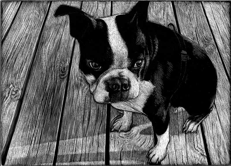 Charlie Boston Terrier WIP 3